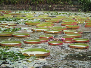 Lilypads at the Botanical Garden