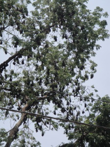 Bat tree - these are the big bats!