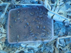 Breeding crickets!